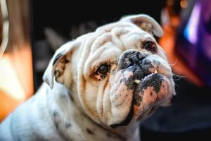 Bulldogs are great dog breeds for cats