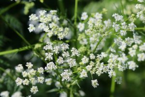 Chervil's a cat-friendly flower and erb