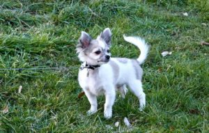 Chihuahuas always top the popular tiny dog breed list