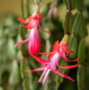 Christmas Cacti are cat-friendly flowers that bloom over the holidays
