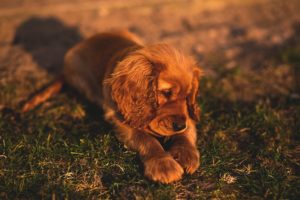 Cocker Spaniels know and understand their owners