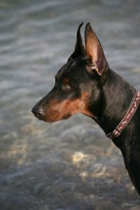 Dobermans started work guarding tax collectors