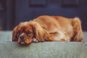 English toy spaniels have sweet, calm demeanors