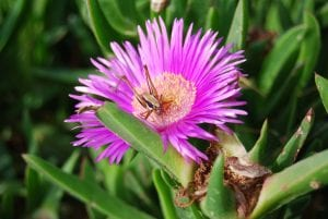 Ice plants have a similar appearance to daisies