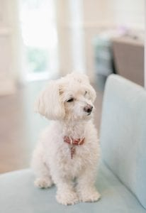 Maltese are great dog breeds for cats
