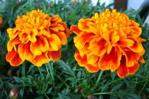 Marigolds are edible and cat-friendly flowers