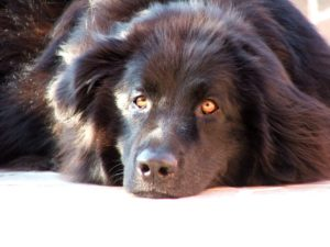Newfoundlands are perfect nannies due to their calm reputation