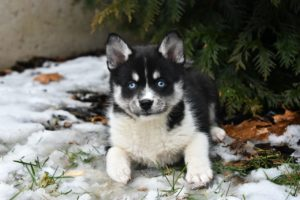 Pomskies are a new teacup breed that require AI to breed