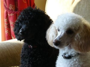 Poodles do well with children