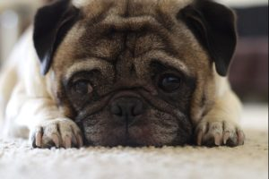 Pugs are a great dog breed for cats