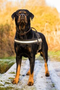 Rottweilers are often considered aggressive despite being great with families