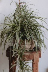 Spider plants are cat-friendly and simple to care for