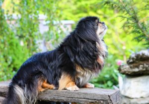 Tibetan Spaniels are one of the calmest dog breeds on a small, regal scale
