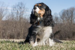 Cavies have a sixth sense for their owners