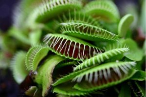 Venus Flytraps are lethal to insects but not cats