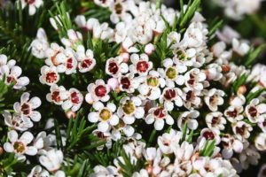 Waxflowers are cat-friendly flowers that often fill bouquets