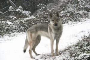 As wolfdogs age, their can become a more aggressive dog breed