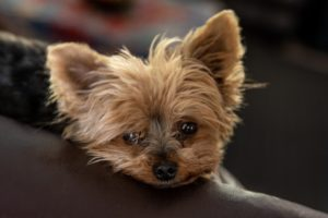 Yorkie-poos represent one of the most popular cute teacup breeds