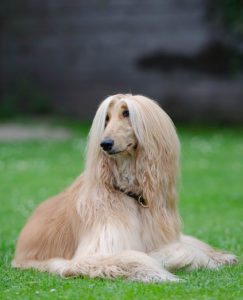 Afghan Hounds look graceful and beautiful