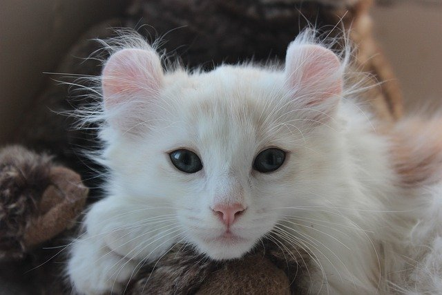 American Curls have a unique characteristic that makes them one of the most expensive cat breeds