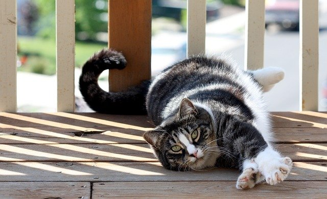 American Shorthairs cost an estimated $600-$1,200