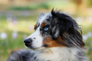 Australian Shepherds are intelligent and hard working dogs