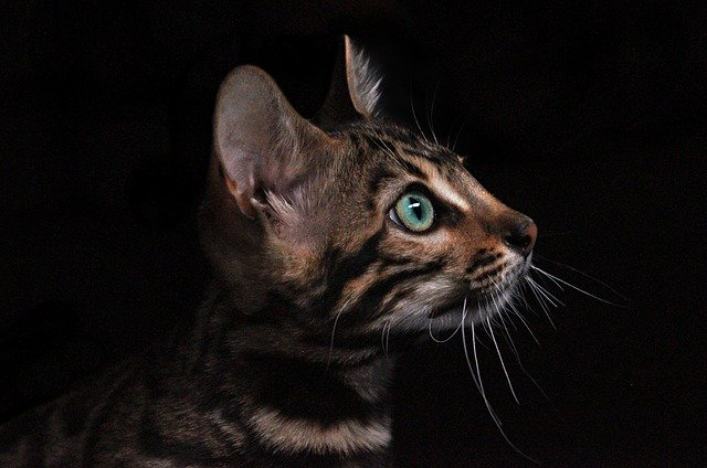 Bengals top the list as the most expensive cat breed