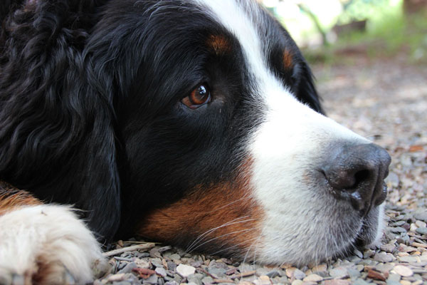 Cancer is the biggest influence on Bernese Mountain Dog lifespan