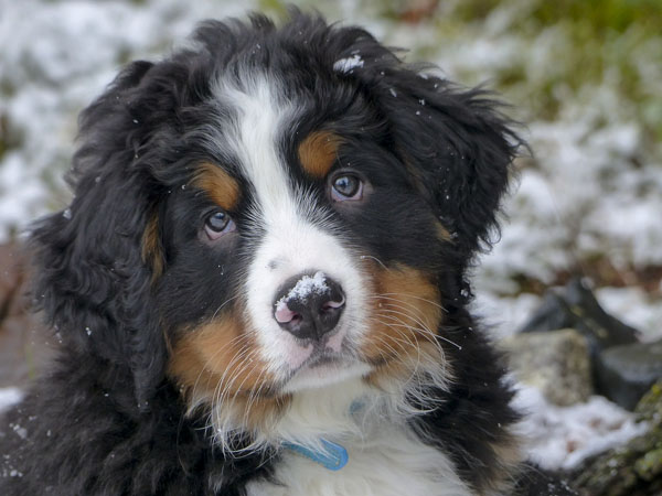 Knowing the genetic history can help  you choose the best Berner puppy
