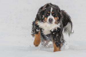 The Bernese Mountain Dog lifespan often surprises people