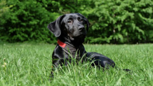 Labrador Retrievers have topped the most popular dog breed list for 29 years
