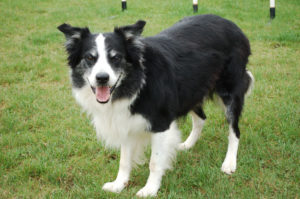 Easily trainable and naturally intelligent, you can't go wrong with a Border Collie