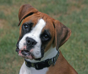 Boxers have a loyal nature that works well with families, increasing their popularity