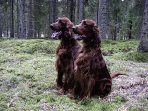 Boykin Spaniels are adept hunting breeds, though you need to clean their coats carefully