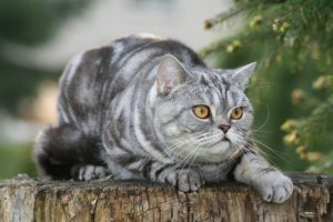 British Shorthairs remind people of the Cheshire Cat, earning their place as one of the most expensive cat breeds