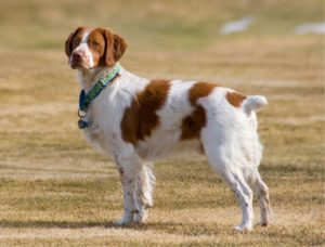The Brittany is a combination of a spaniel and a setter