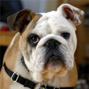 English Bulldogs enjoy continued popularity with their wrinkled faces
