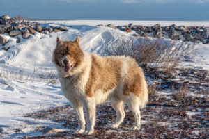 The Canadian Eskimo Dog may be one of the rarest breeds in the world