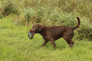 Chesapeake Bay Retrievers were developed entirely within the U.S.