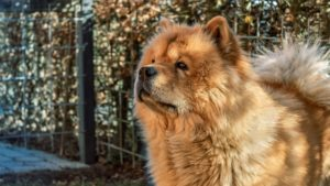 Chow Chows are one of the oldest and rarest dog breeds
