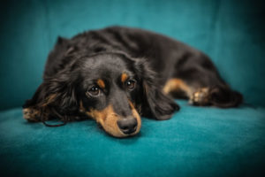 With plenty of spunk and devotion, Dachshunds remain popular favorites