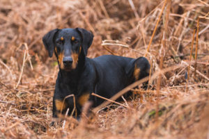 Doberman Pinschers may be guard dogs, but they're also intelligent