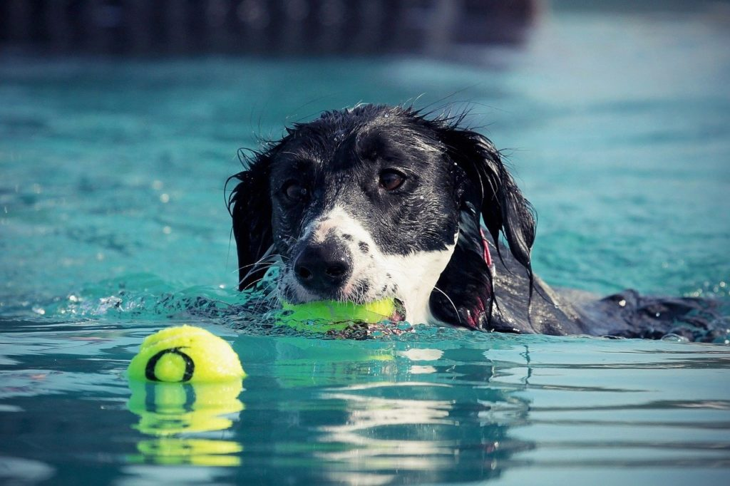 Some dogs swim without a problem