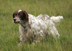 English Setters have level reputations in the field