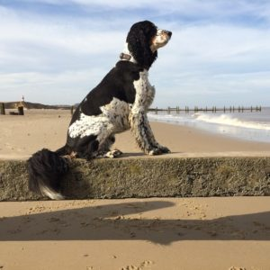 English Springer Spaniels are hardworking dogs, giving them extra intelligence