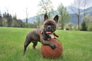 French Bulldogs have thousands of fans