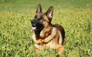 Through all of their hard work, German Shepherds earned their place on the most popular dog breed list