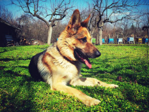 German Shepherds work as guards, guide dogs, and in the military