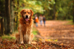 Golden Retrievers are known as one of the smartest dog breeds