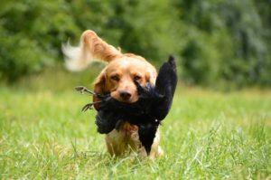 Hunting breeds perform a variety of tasks for sportsmen